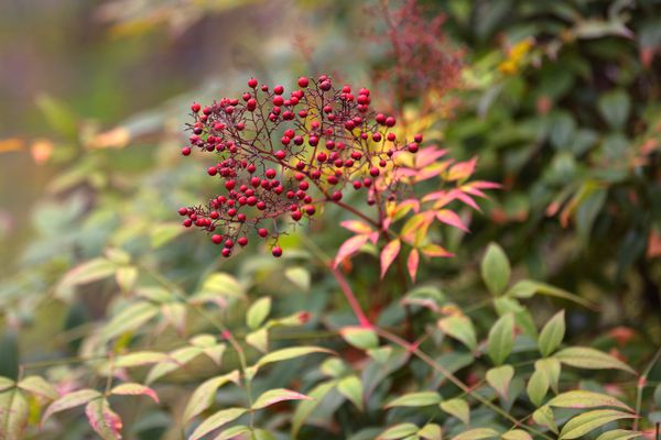 Heavenly bamboo shrub with small red berries clustered on end of thin stem and green, yellow and red leaves