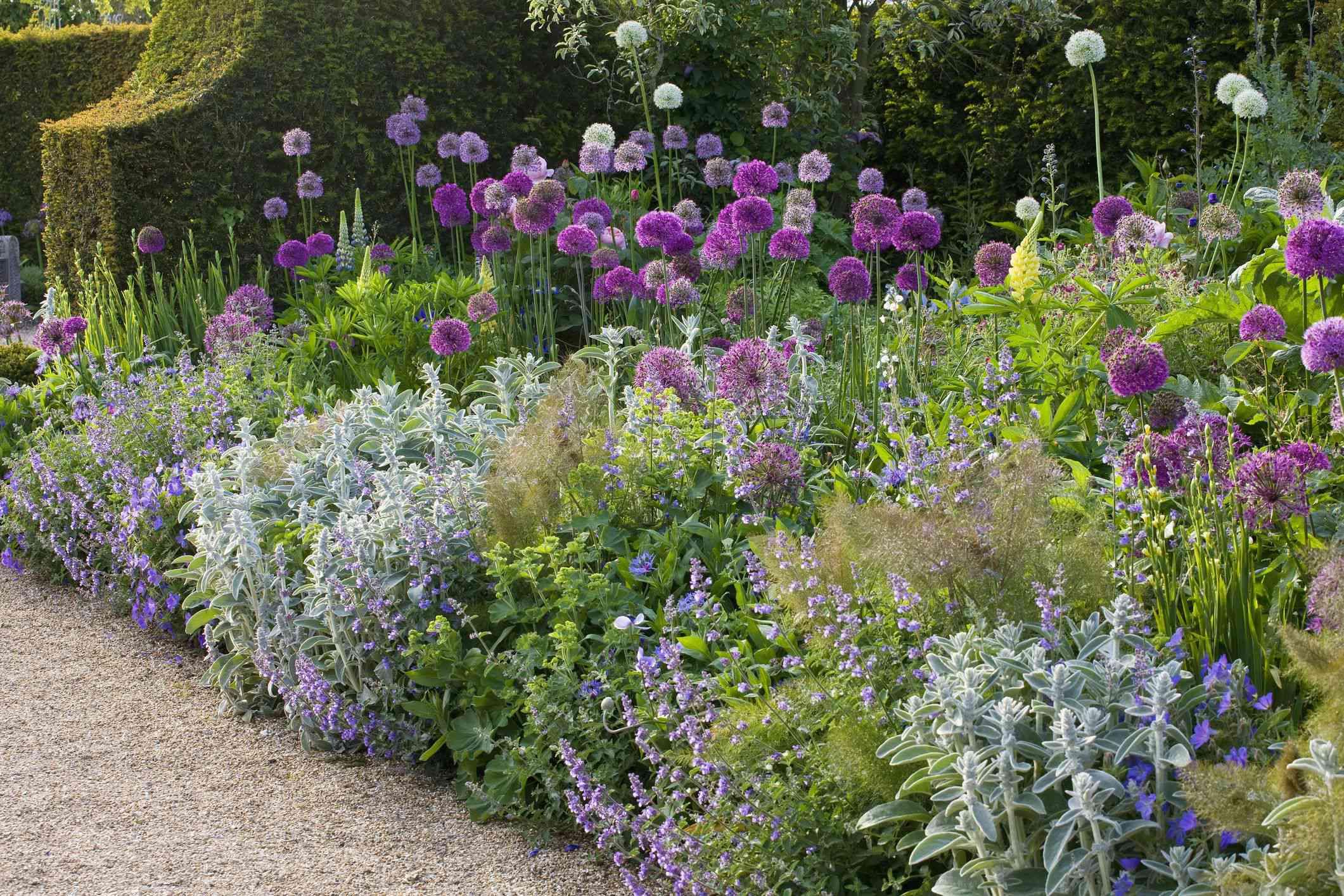 garden with alliums