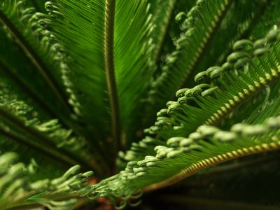What Are Sago Palms And How Do You Grow Them