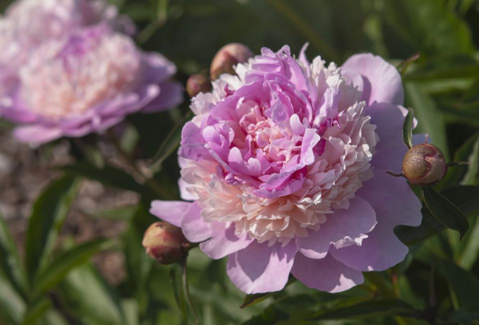 Peony flower with ruffled pink and white petals next to buds in sunlight