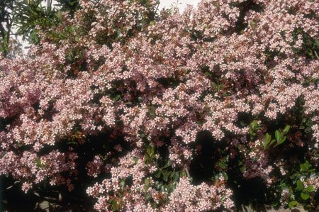 Growing Indian Hawthorn In The Home Garden
