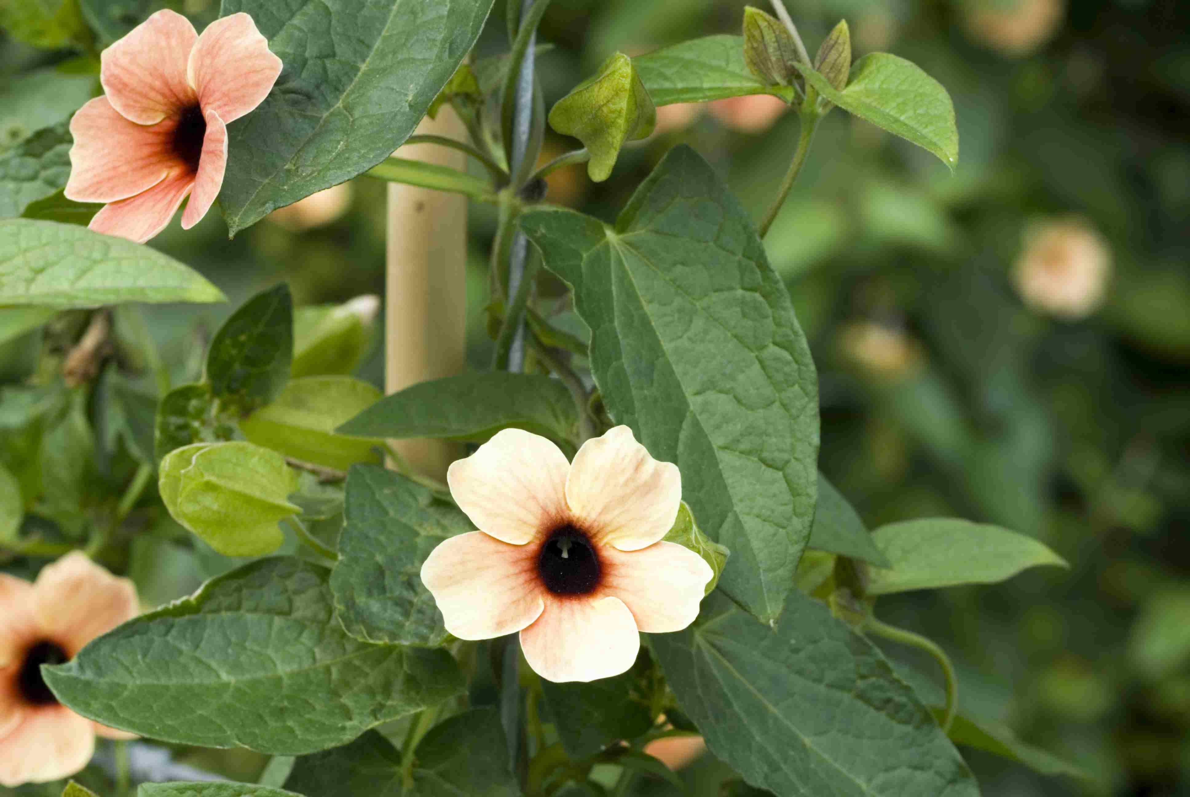 Black-eyed Susan vine (Thunbergia alata), summer