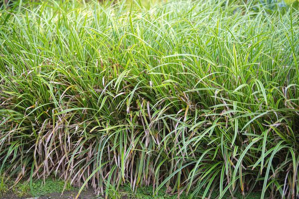 Variegated Japanese sedge with two-toned leaves