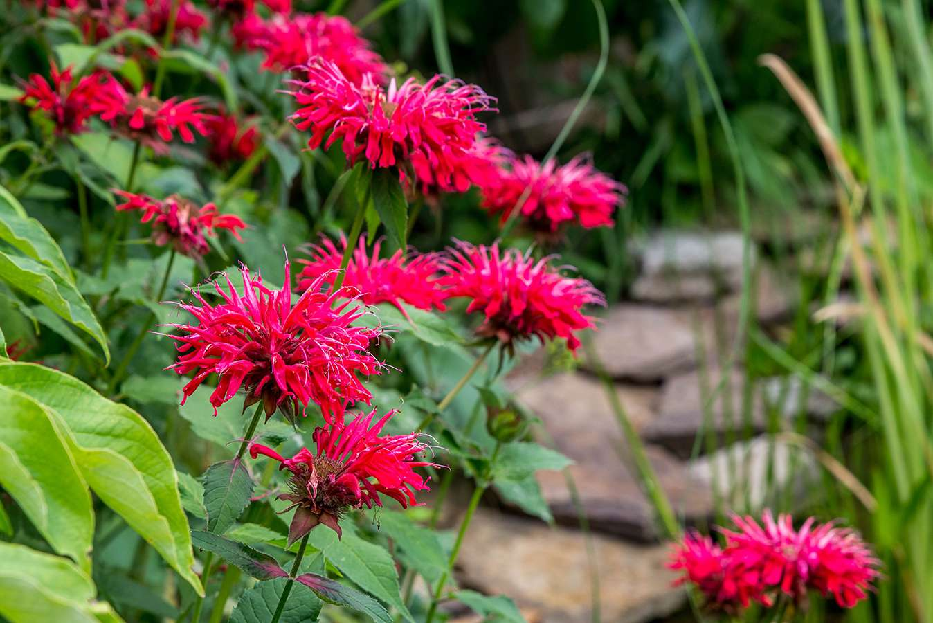 red bee balm as a patio paver