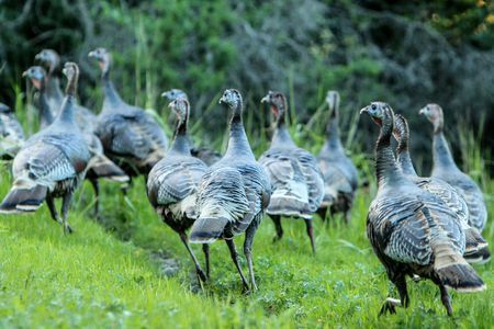 wild turkey flock