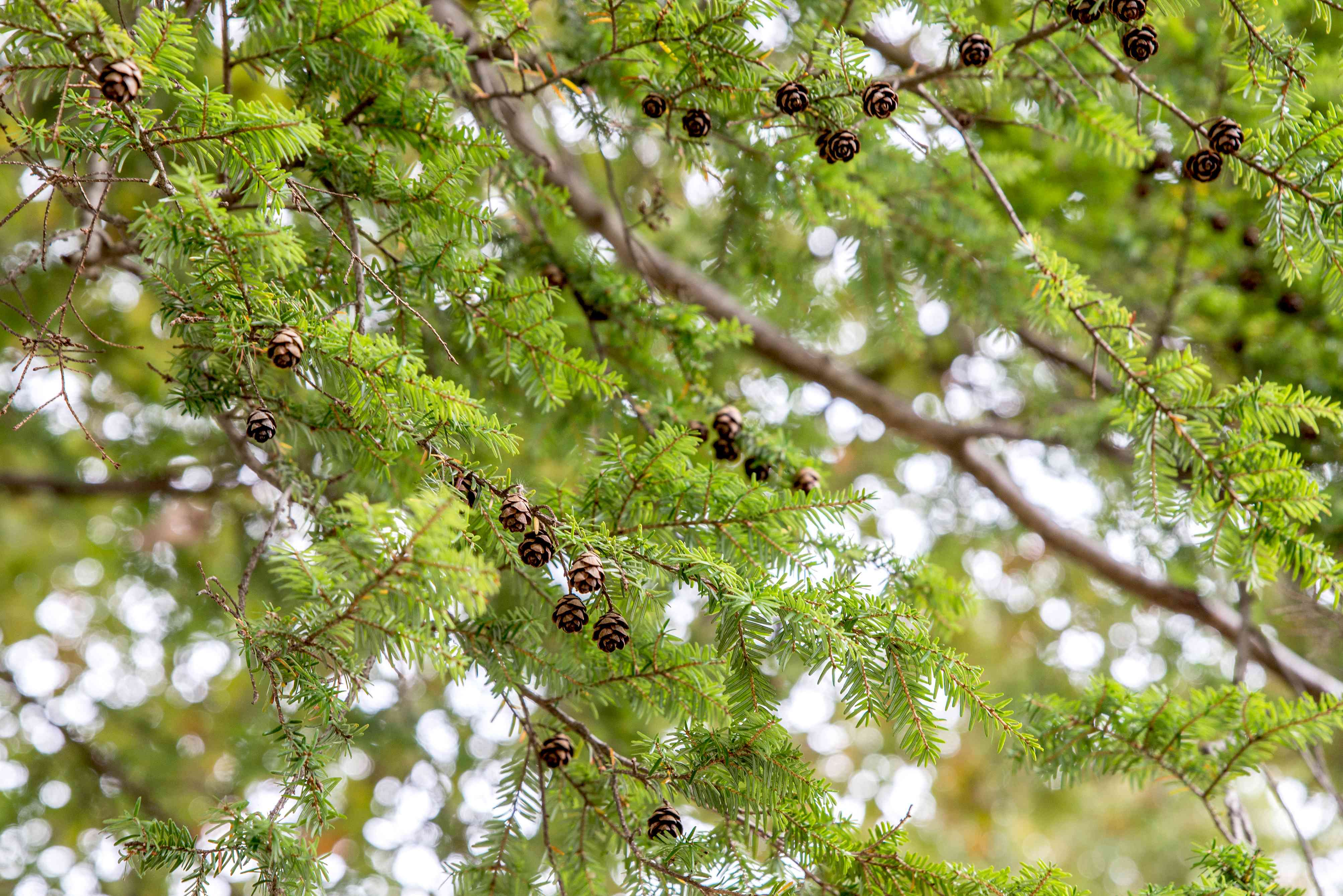Canadian hemlock bearing cones