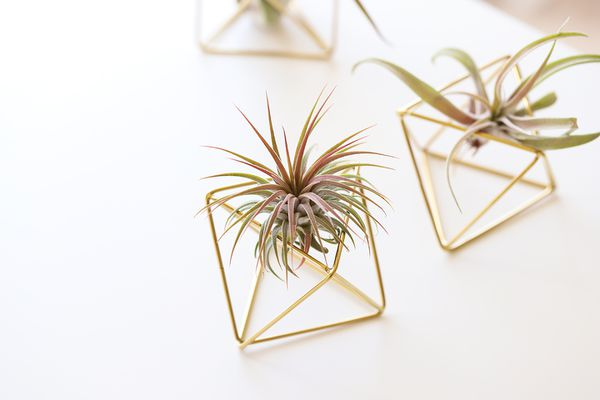 air plants in decorative mounts