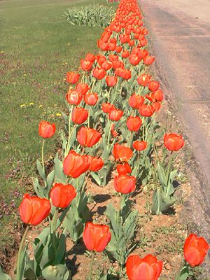Picture of row of red tulips.