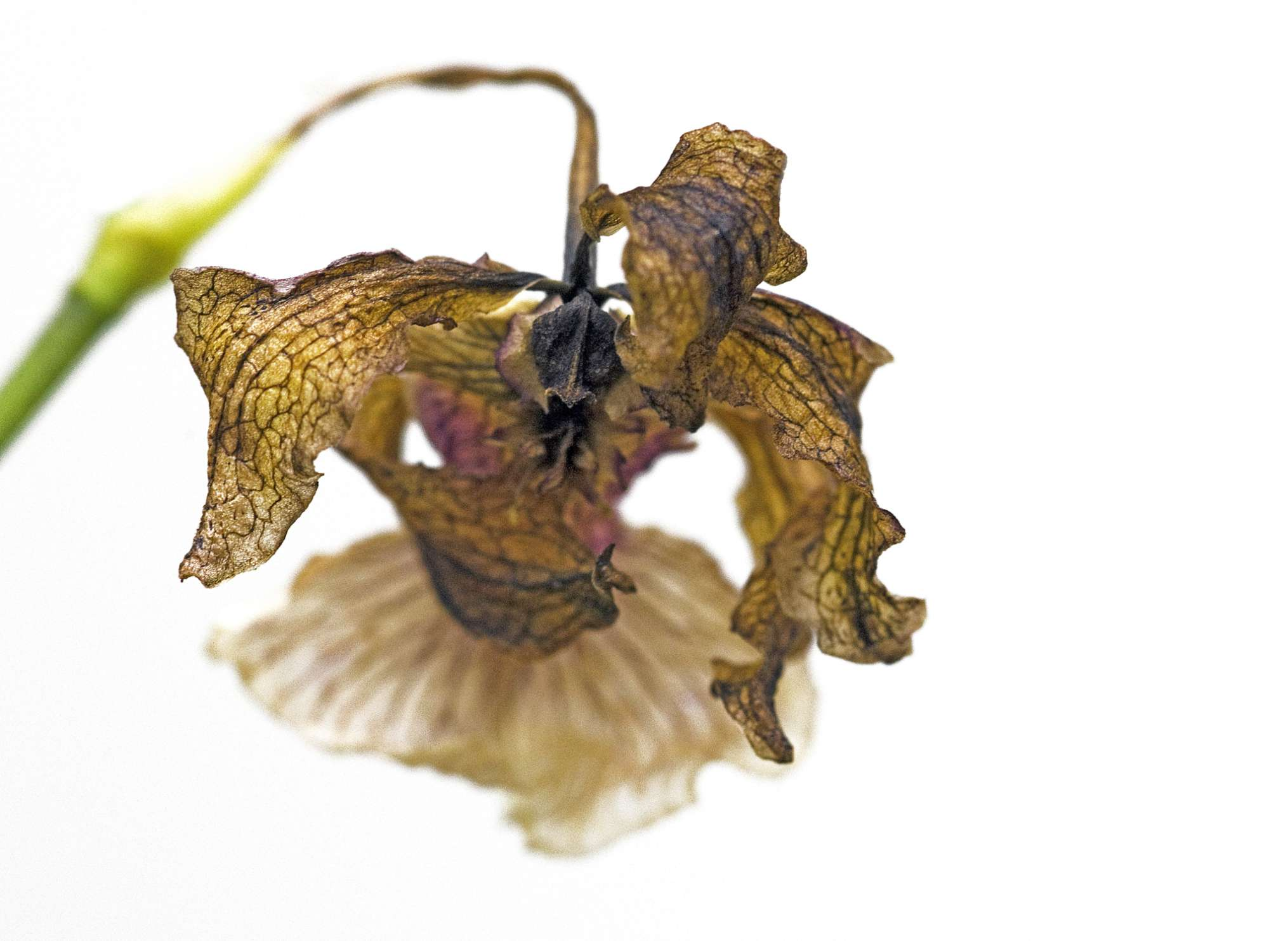 Orquídea moribunda