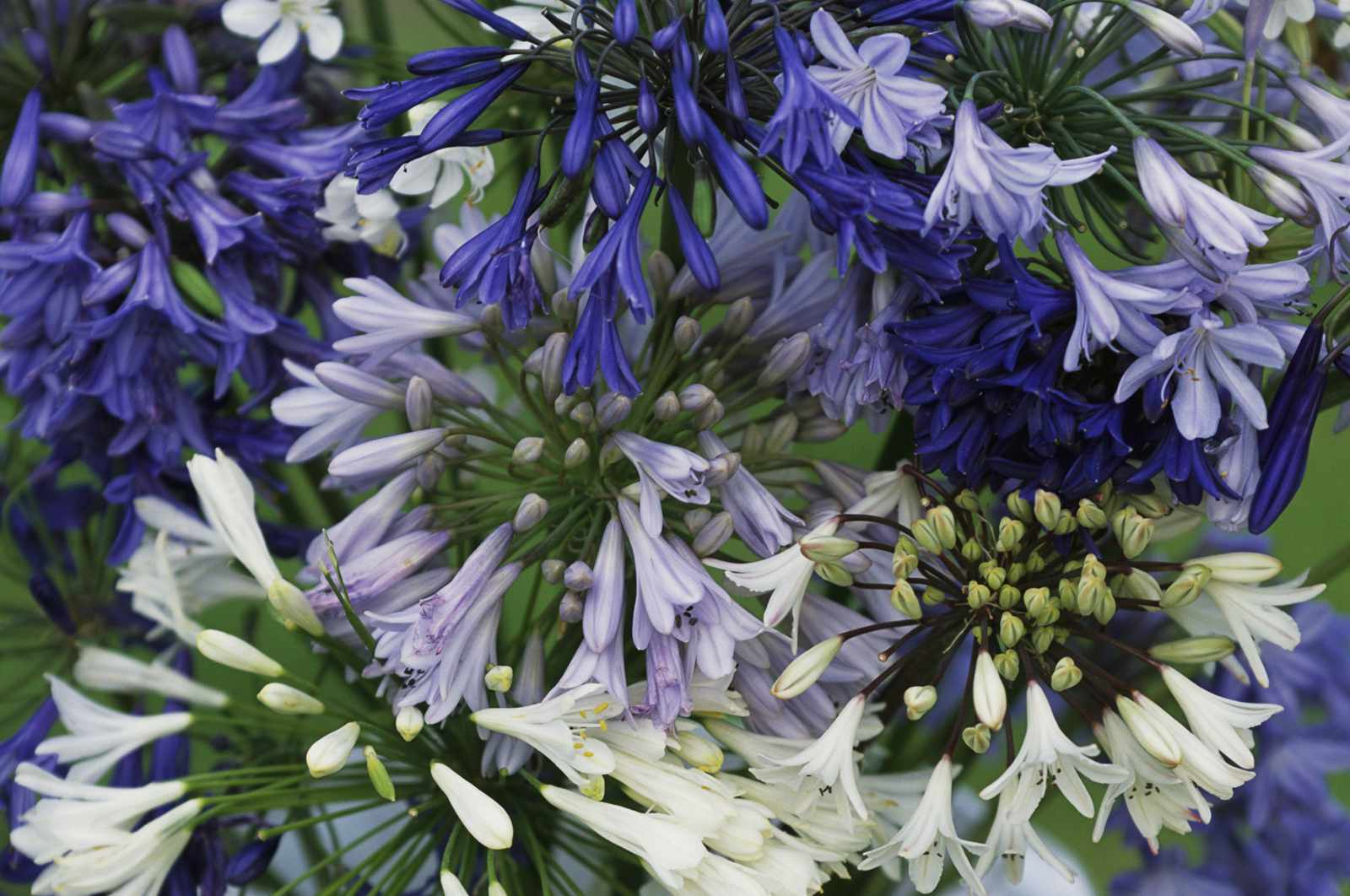 12 beautiful blue flowering plants for the garden agapanthus africanus izmirmasajfo