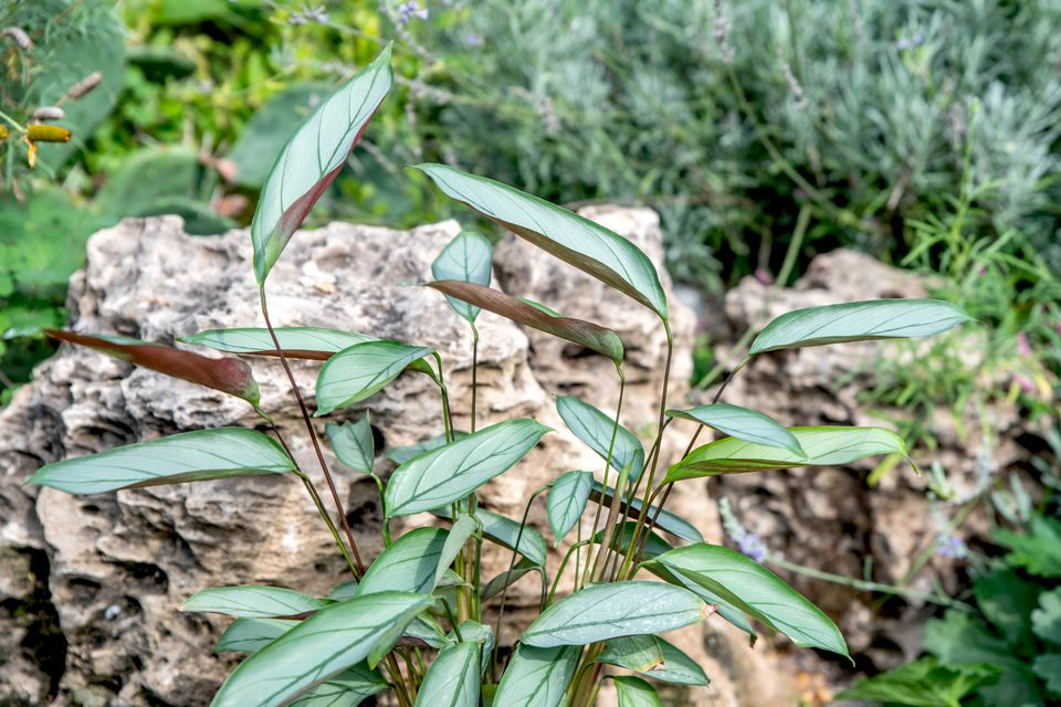 Ctenanthe setosa grey star plant with silvery-gray stripes on top of thick clustered leaves