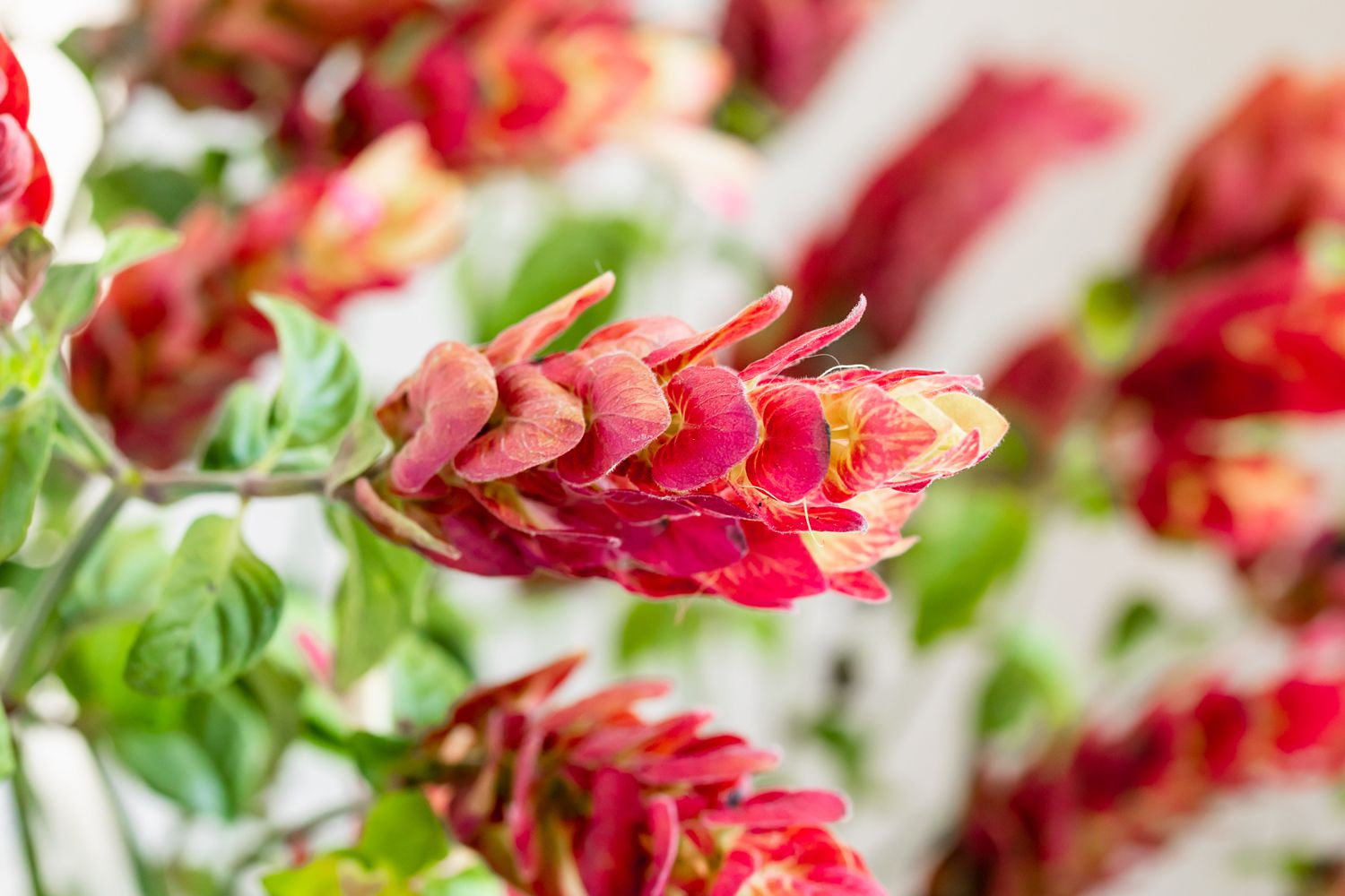 Justicia brandegeana shrimp plant stem with red and yellow bracts on end closeup