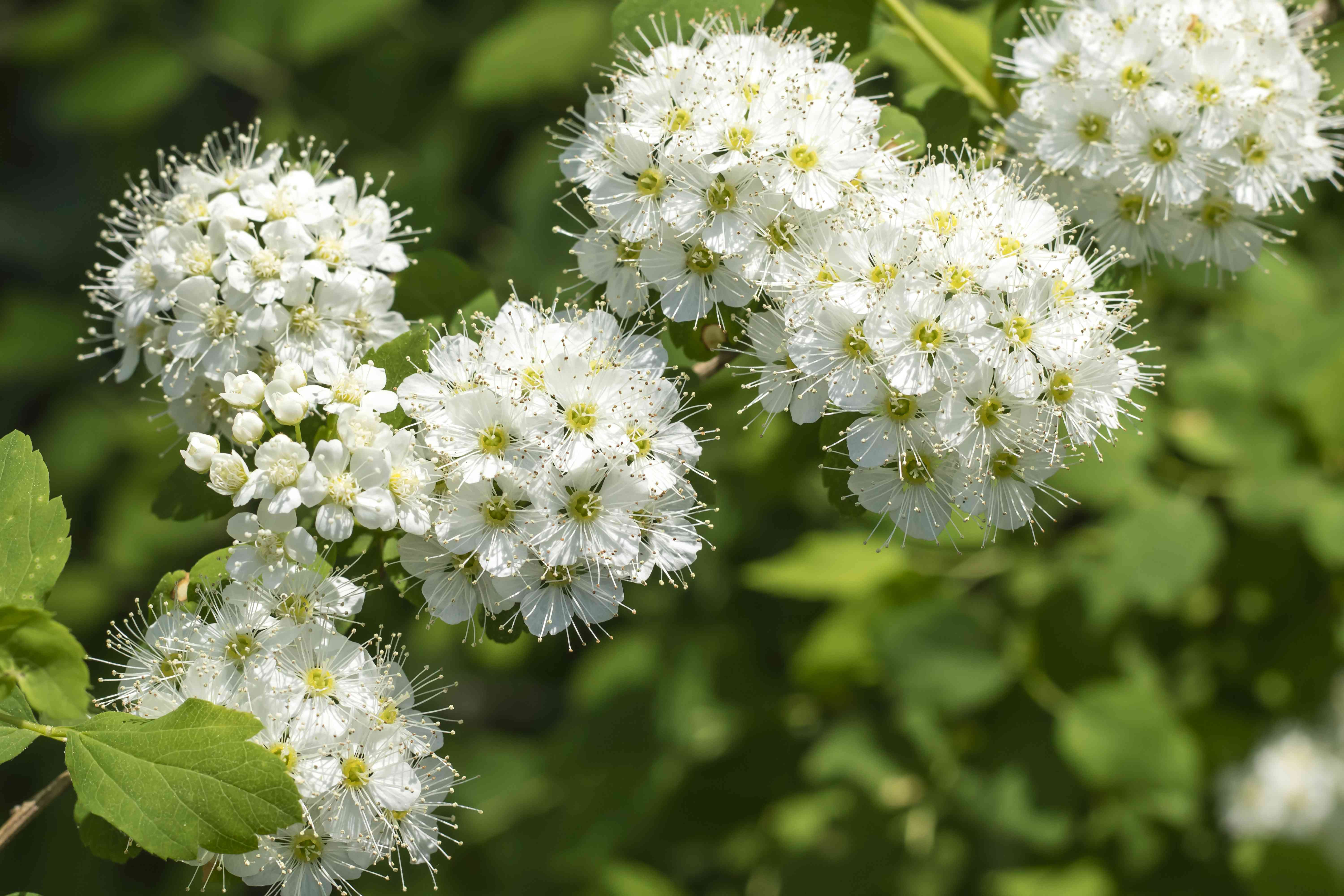 Beautiful branch with white flowers. Viburnum lentago (Nannyberry)