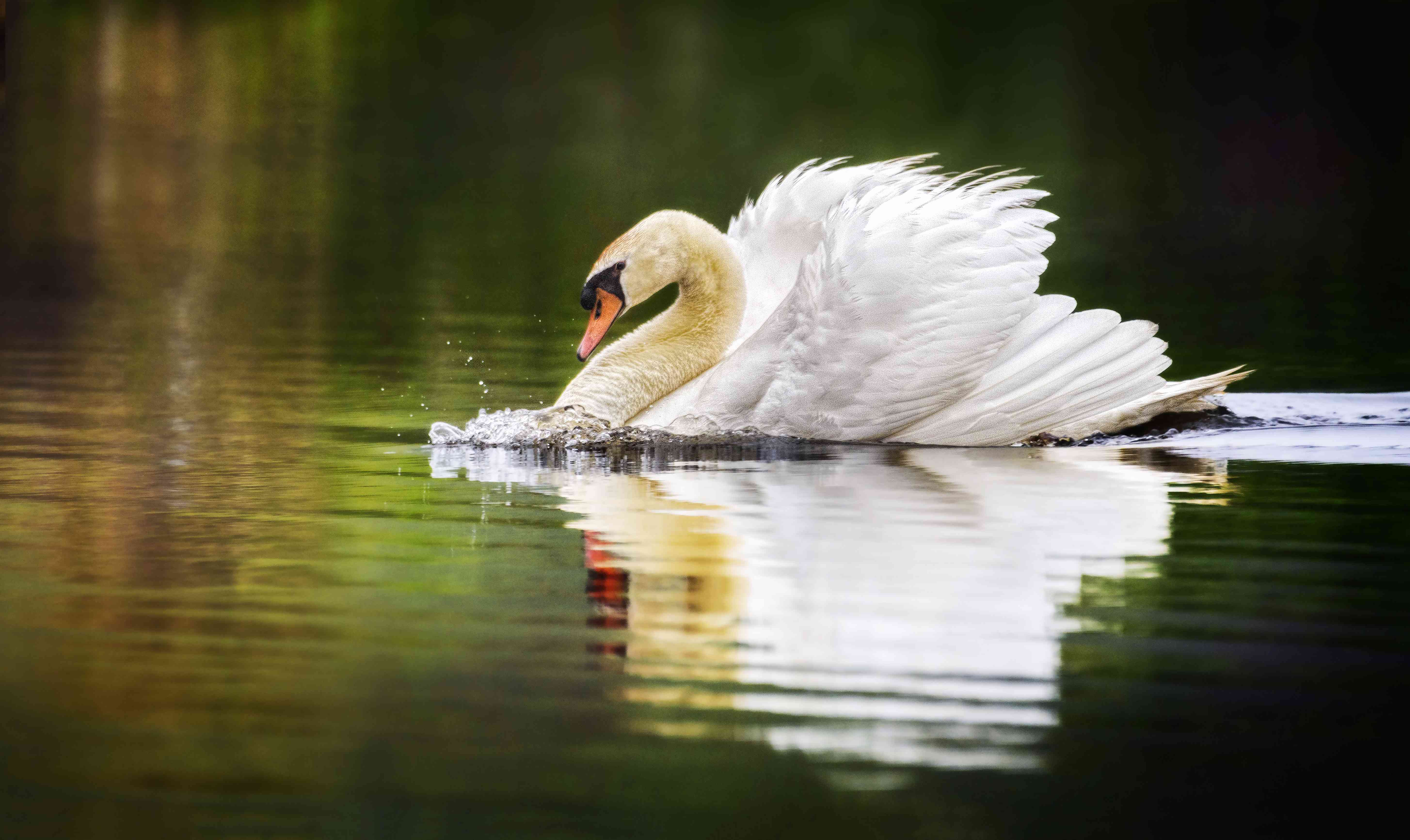 Beautiful Swan in Motion Against Smooth Reflective Water