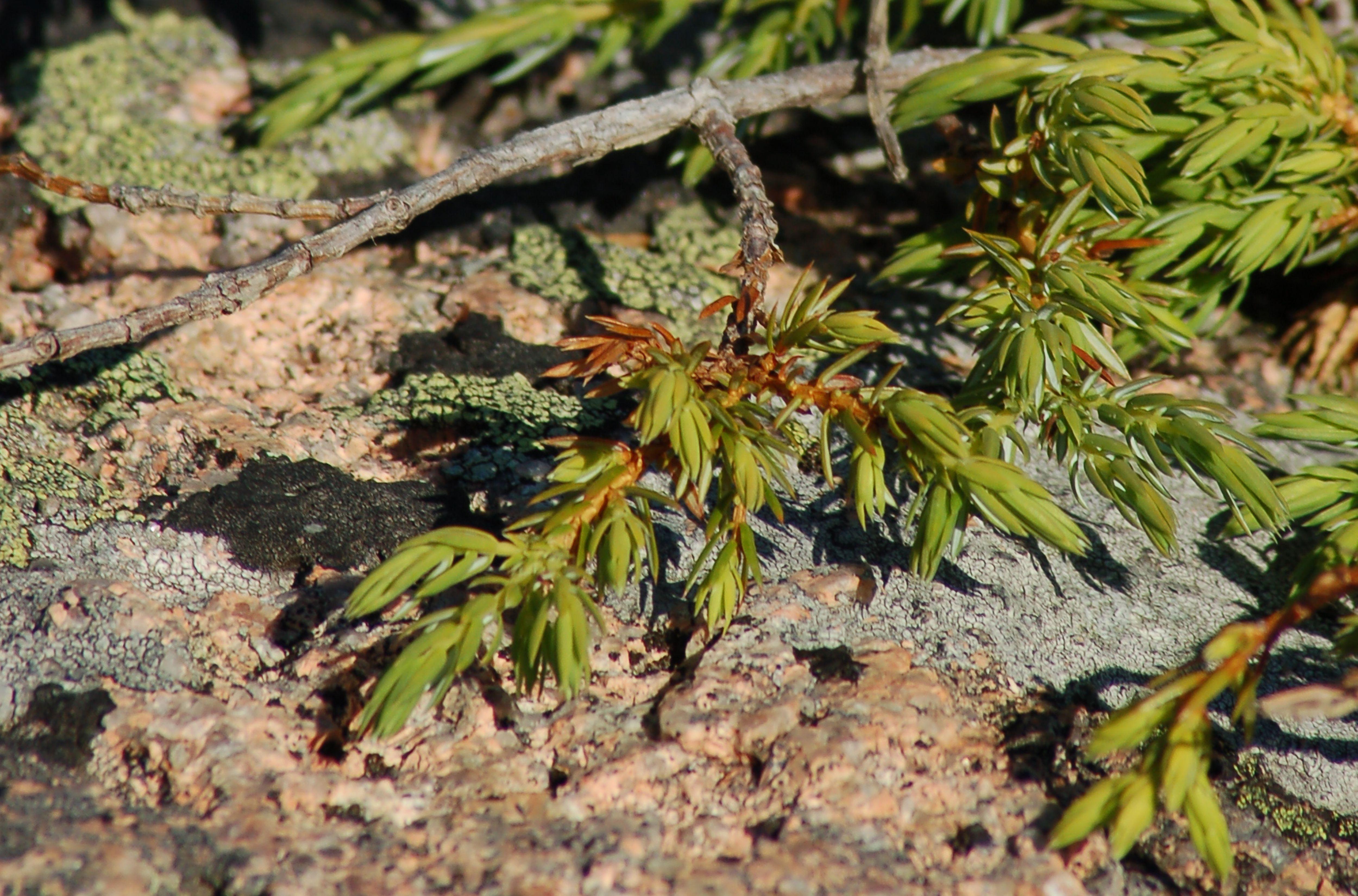 Creeping juniper growing wild on Cadillac Mountain, Bar Harbor, Maine.