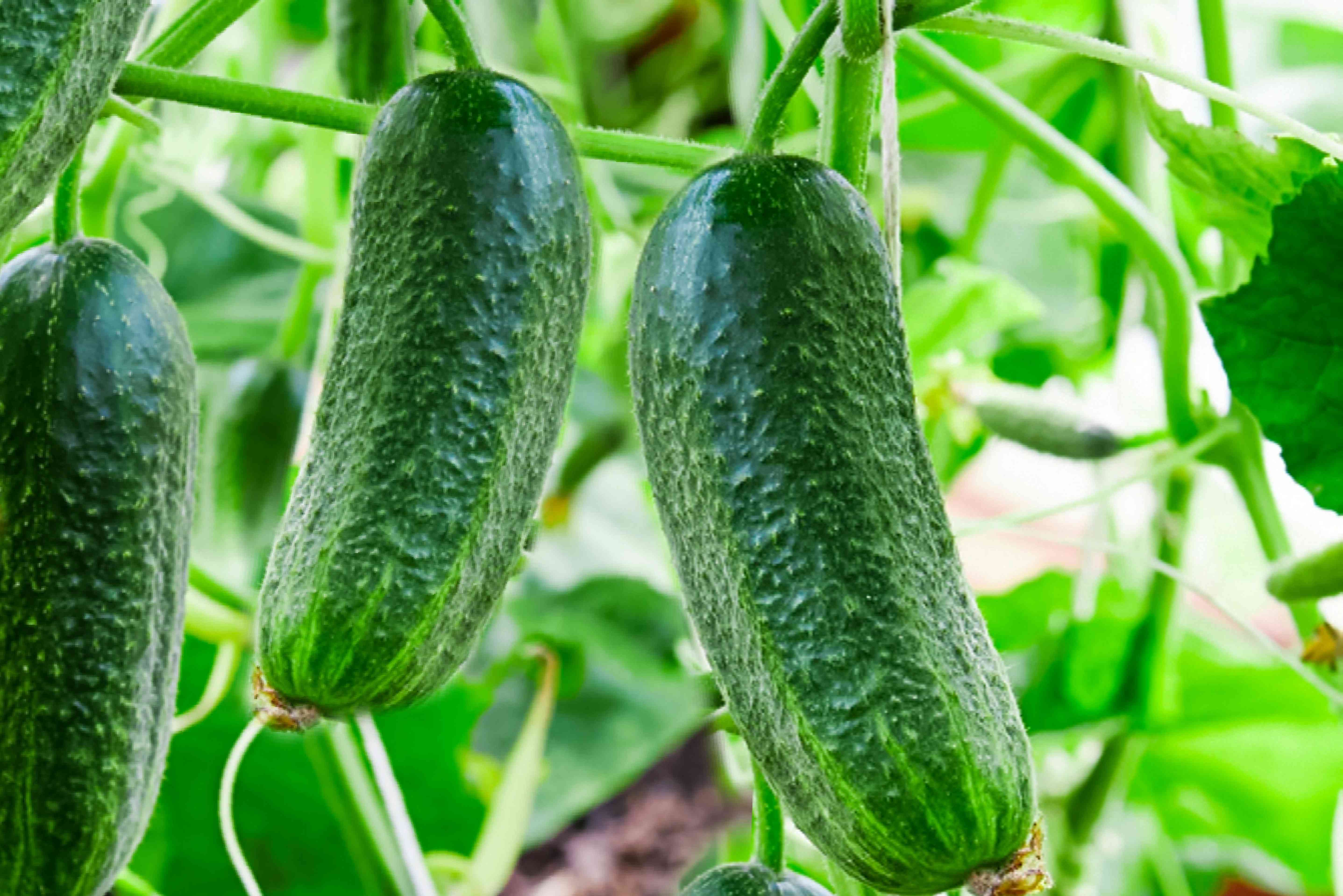 cucumbers ready for harvest