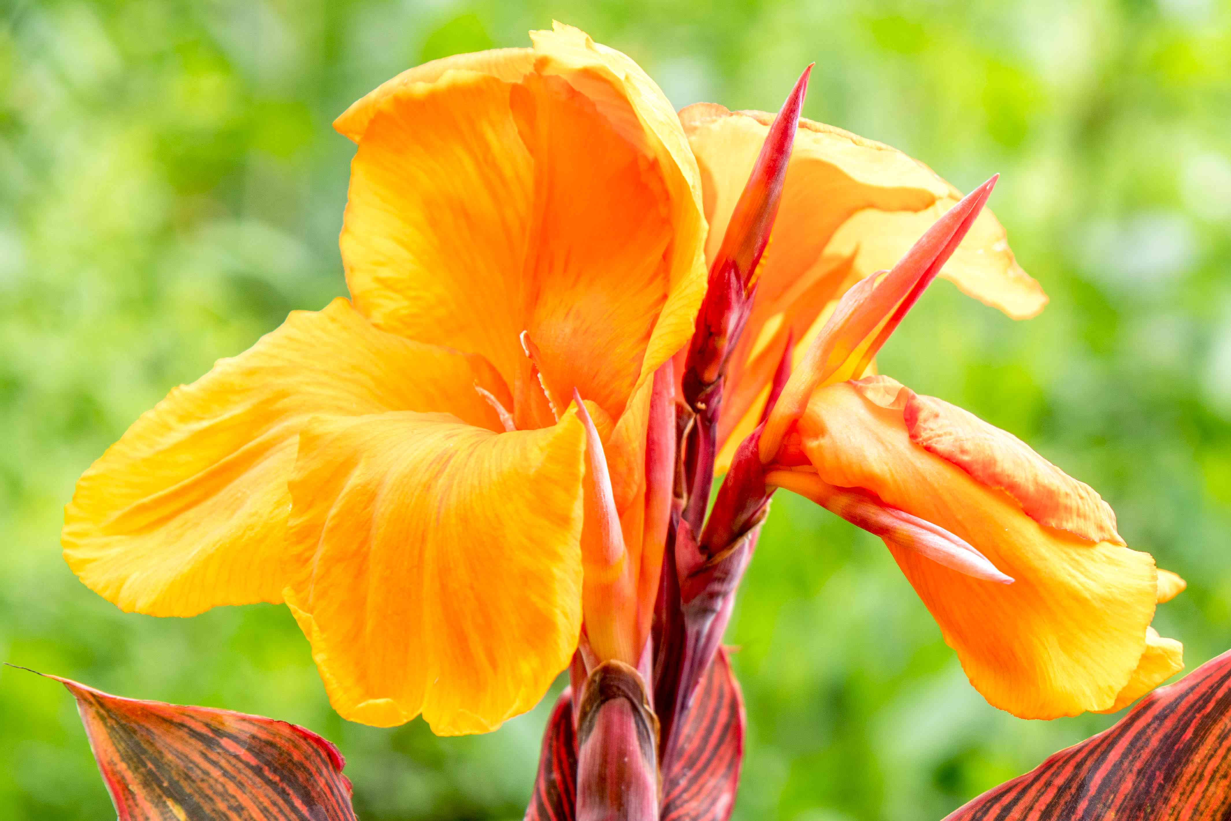 Tropicanna canna flower with bright orange petals and red unfurling petals closeup