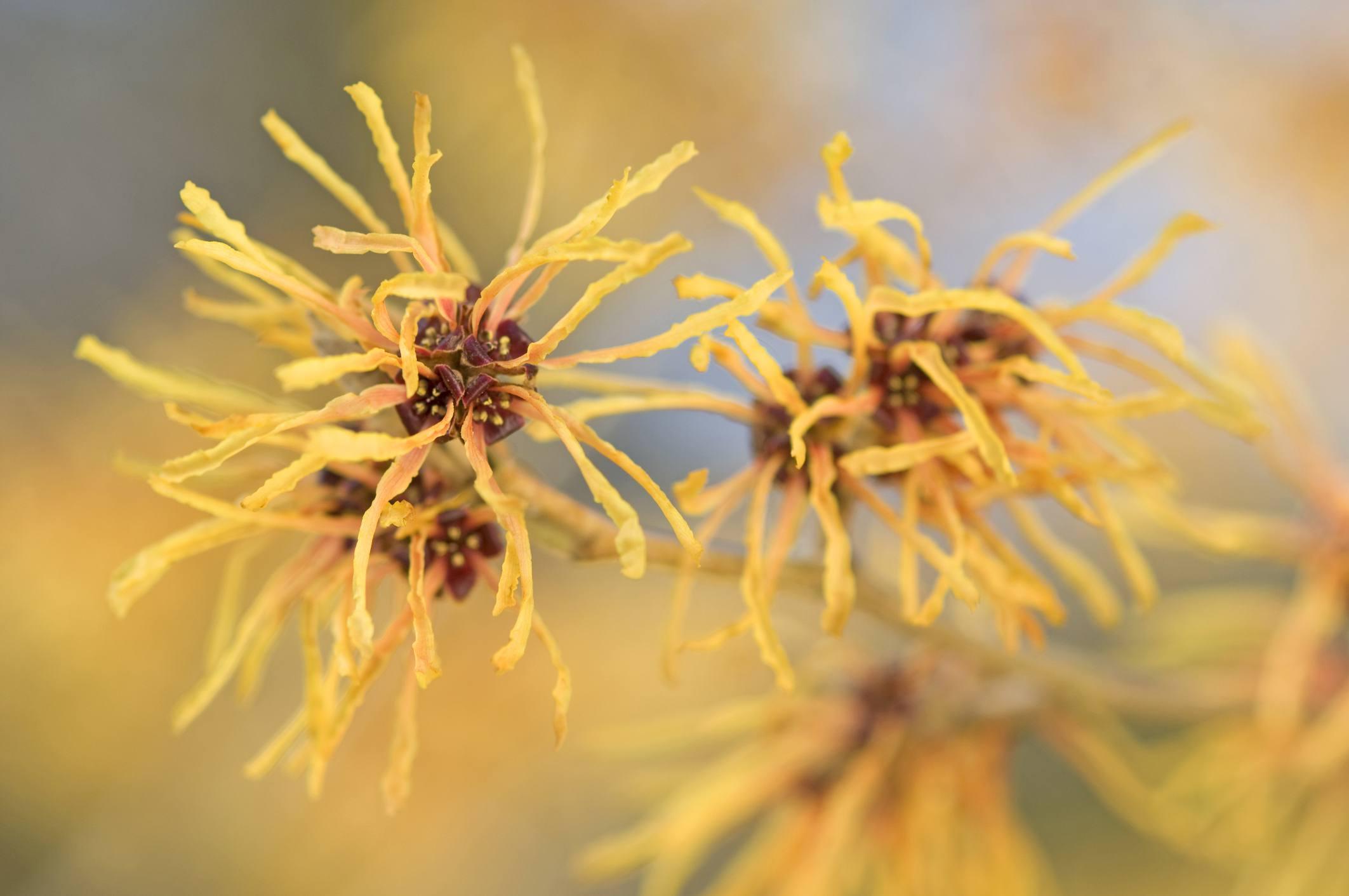 Hamamelis en flor