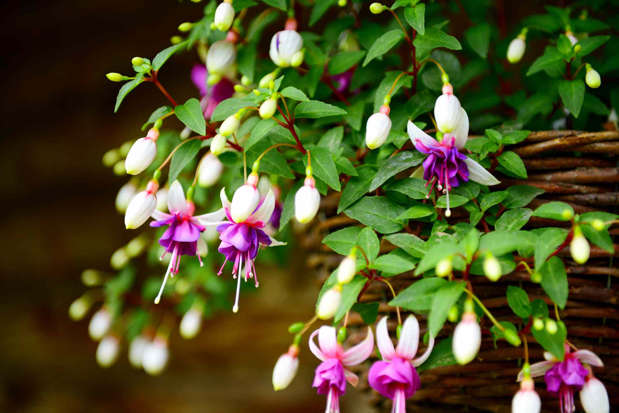 fuchsia flowers in the garden, hanging in a basket