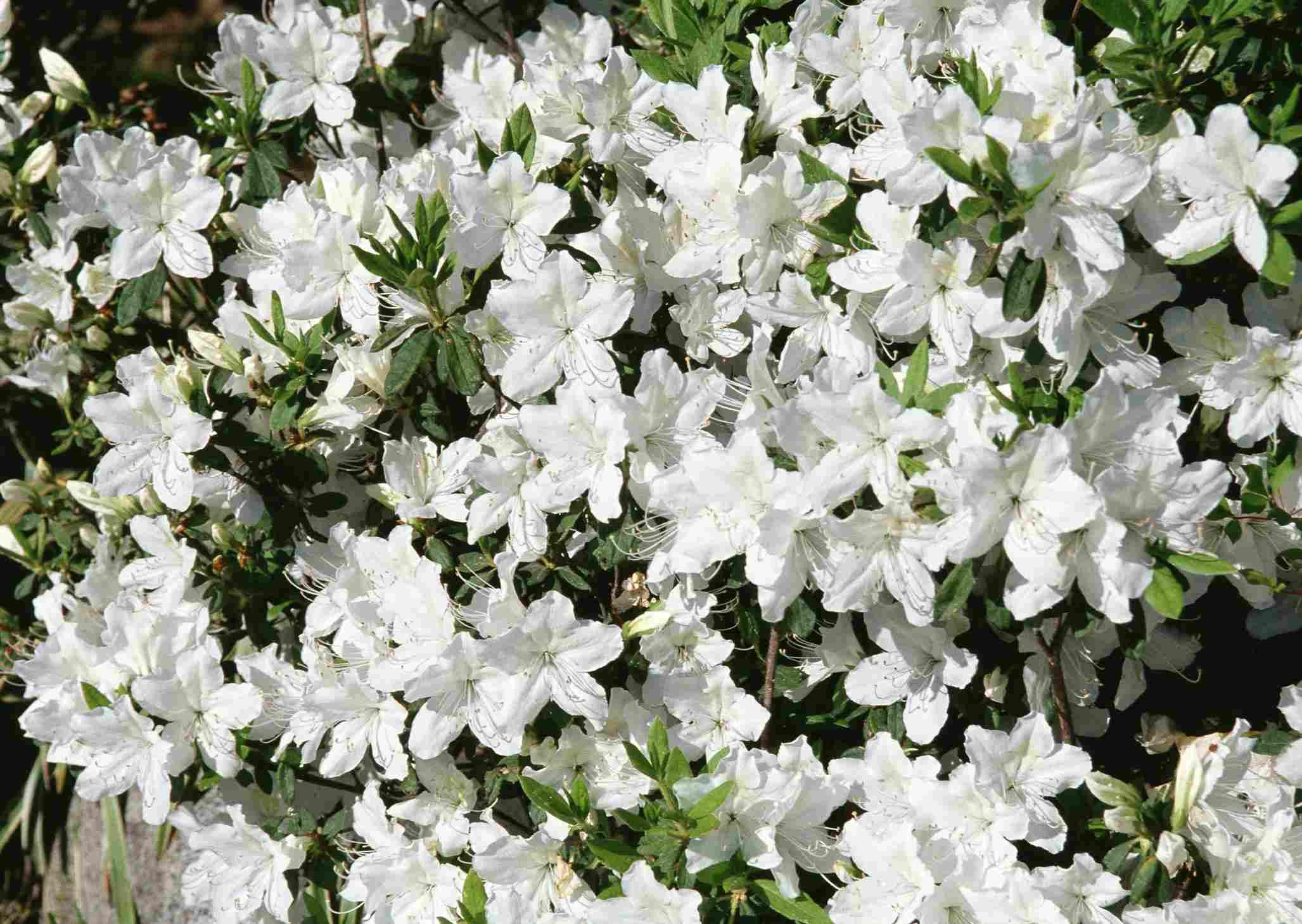 Azalea en florecen con flores blancas