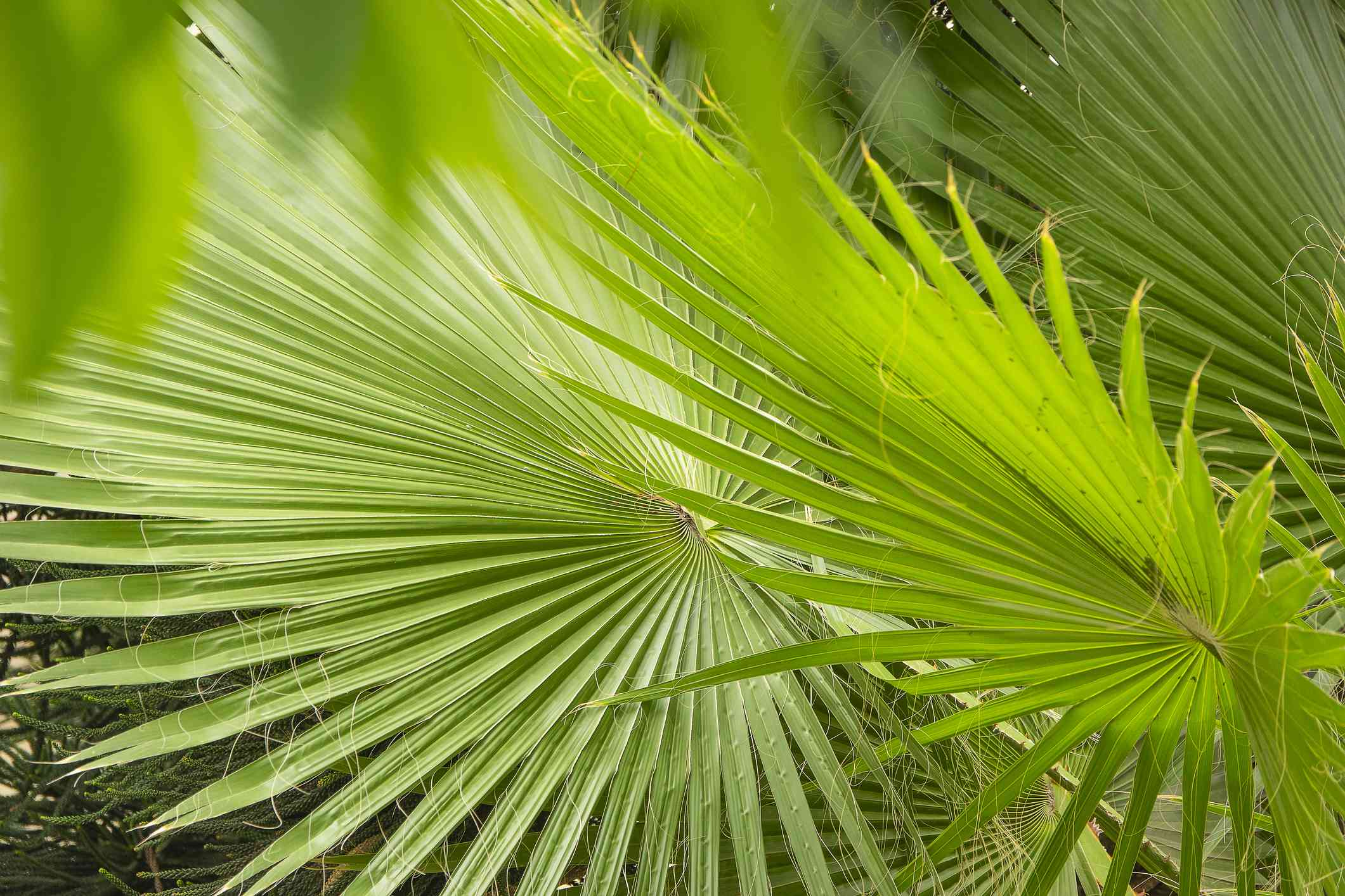 Tropical summer concept Livistona Chinensis palm tree leaves close up