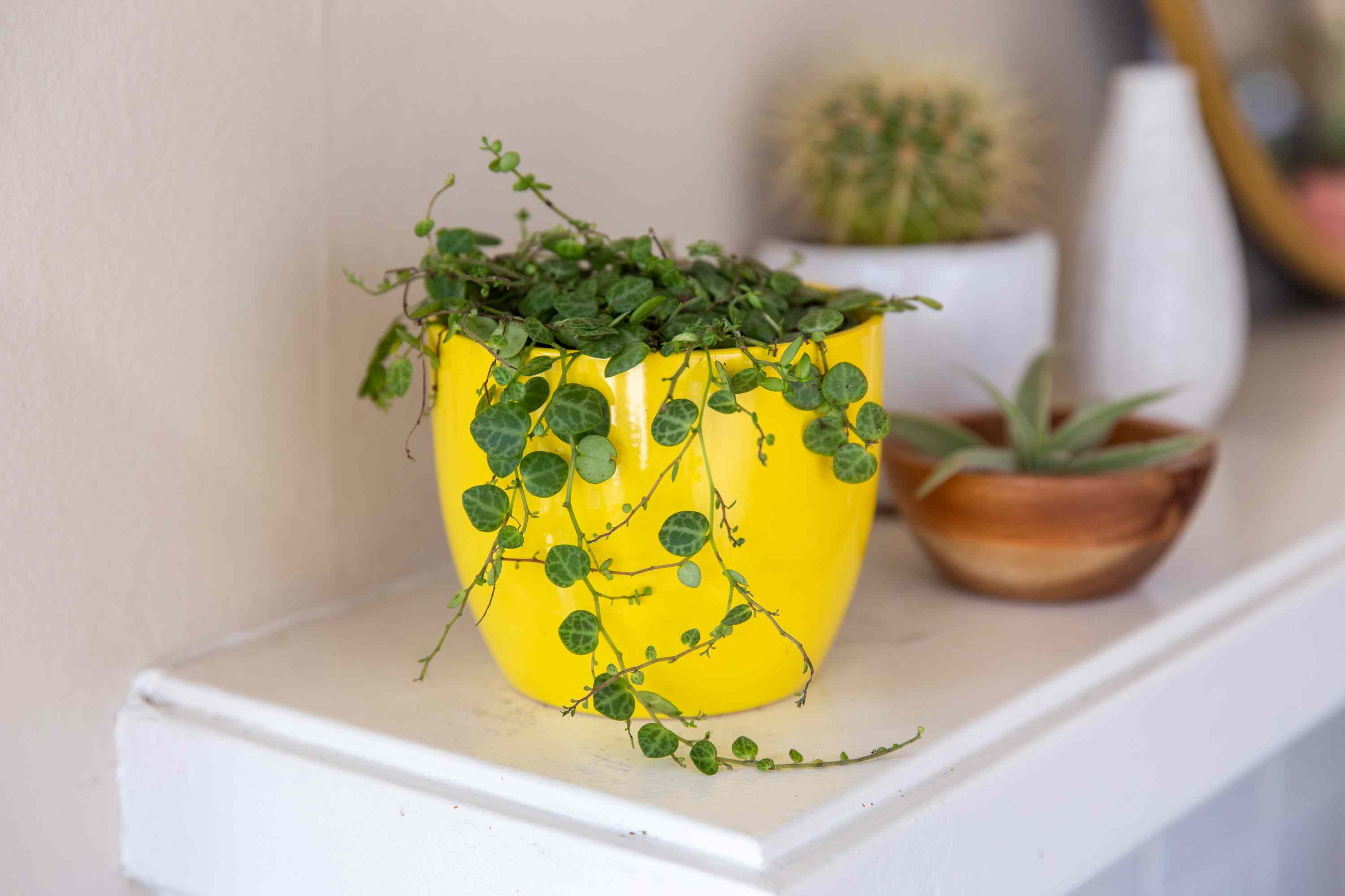 String of turtles in yellow pot on white shelf with other houseplants