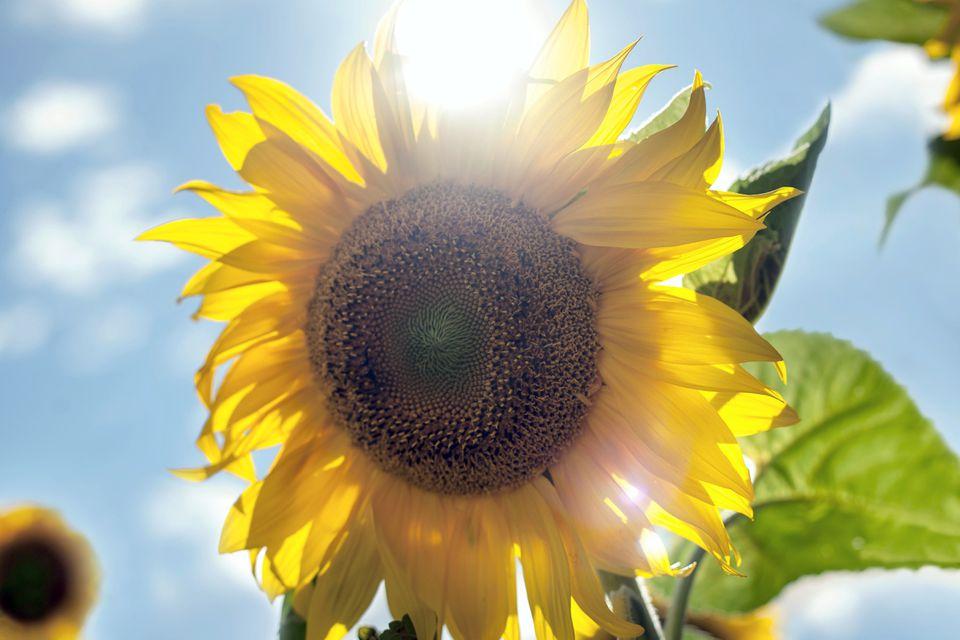 A sunflower reaches toward the sky