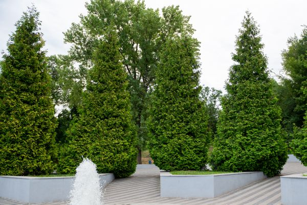 Giant arborvitae trees trimmed in triangle shapes in walkway and fountain