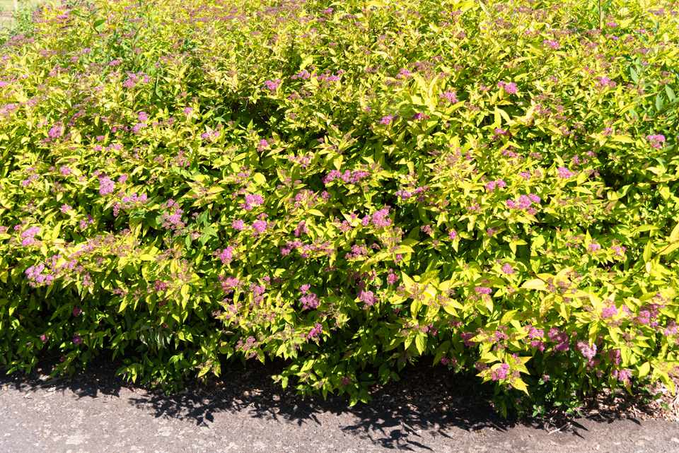Gold mound spirea plant with golden pointed leaves and pink flowers in sunlight