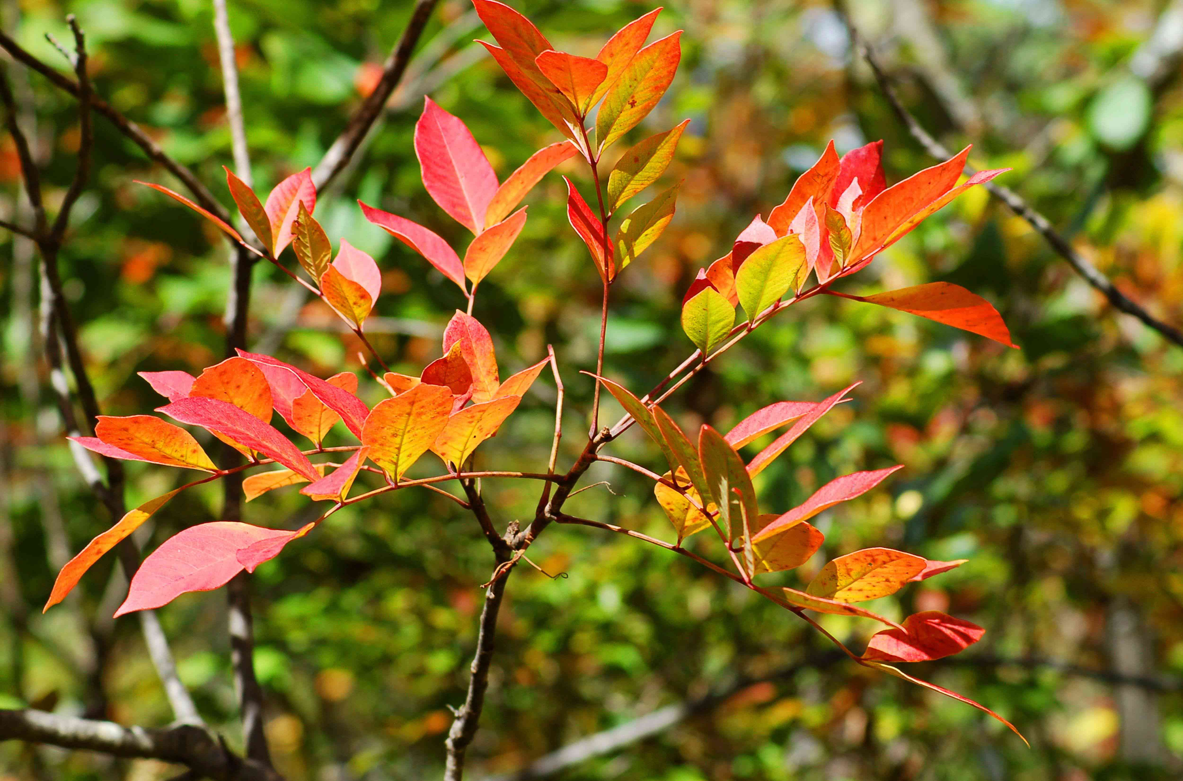 Poison sumac shrub branch with red and orange leaves in sunlight