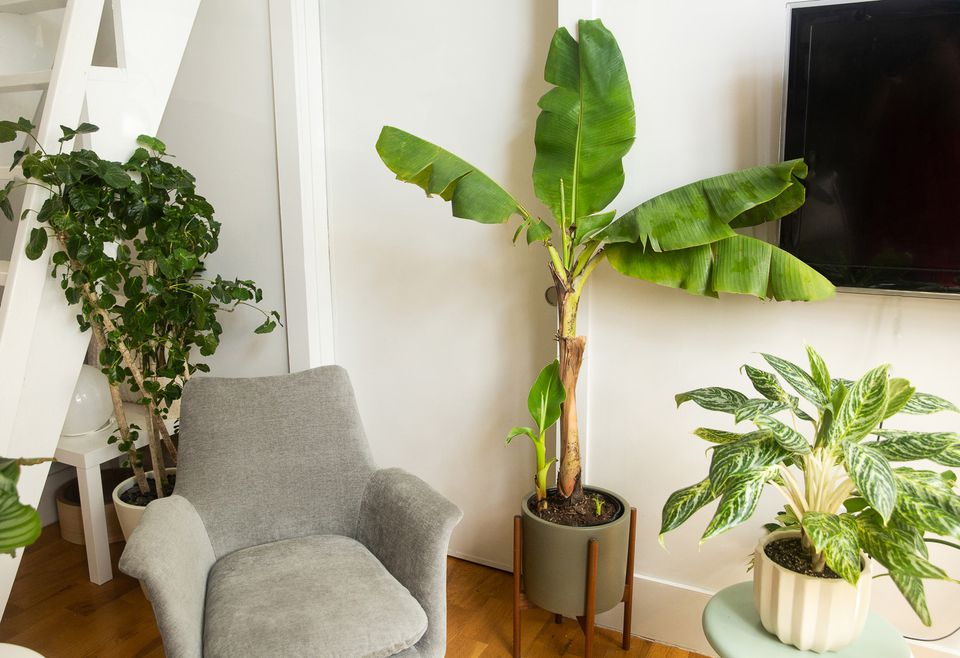 banana tree in a living room