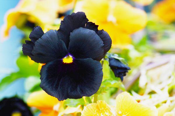 Black Beauty Pansy