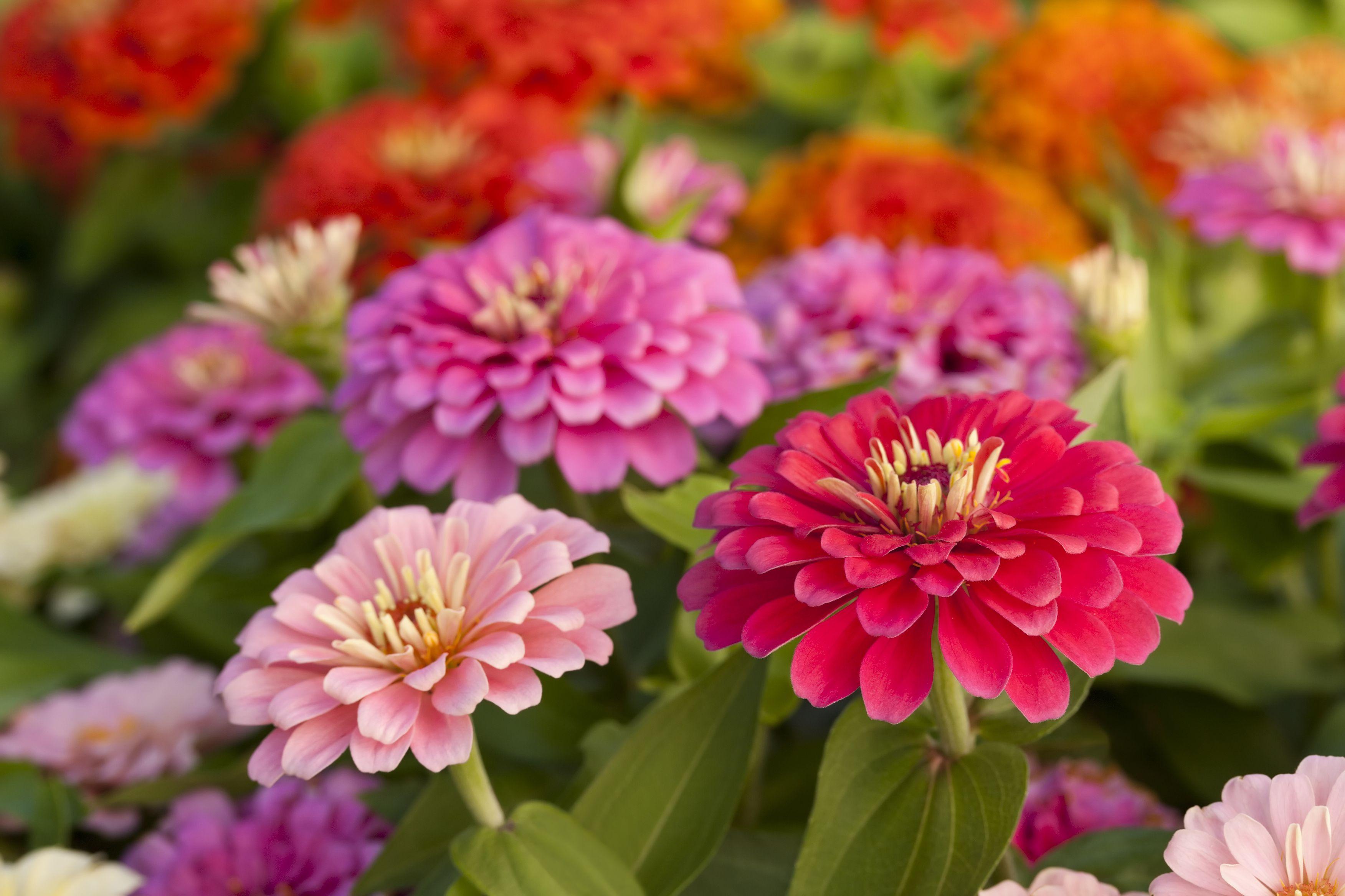 How to Grow Zinnias - A Burst of Hot Flower Colors