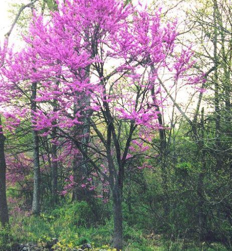 Un oriental Redbud en el bosque