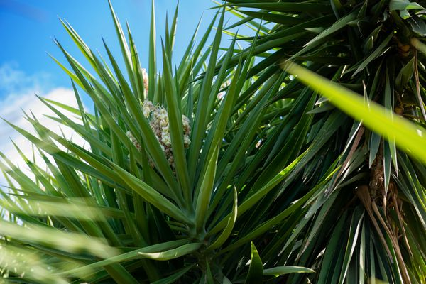 Cordyline indivisa tree with large glossy lance-shaped leaves against blue skies