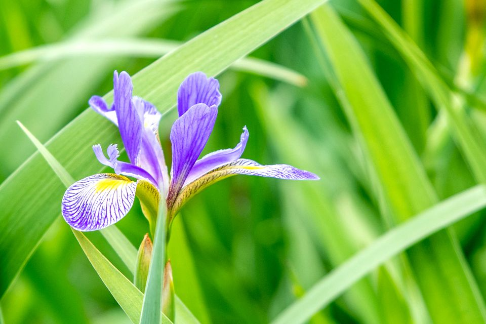 Northern blue flag plant with purple and yellow flowers surrounded by sword-like leaves closeup