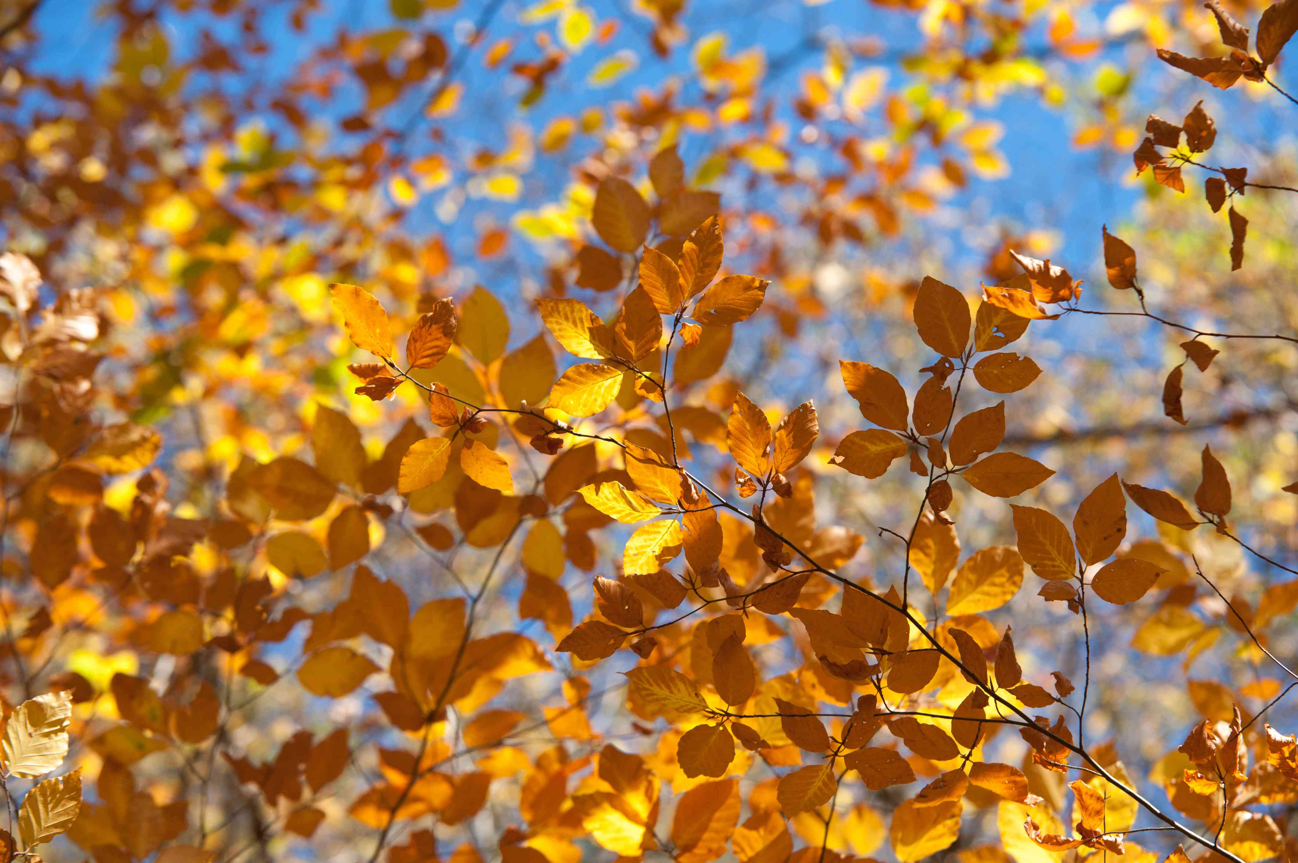 European beech tree branches with orange and yellow leaves closeup