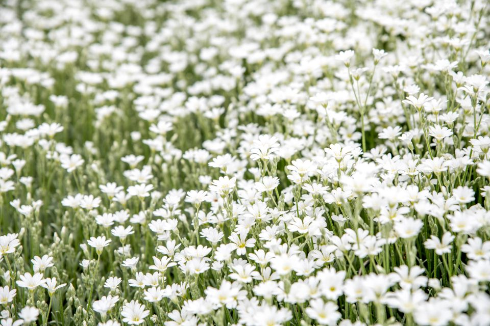 Small white flowers clustered together on thin stems for moon garden
