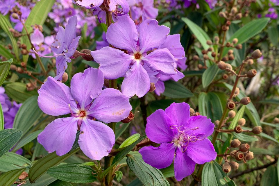 purple princess flower