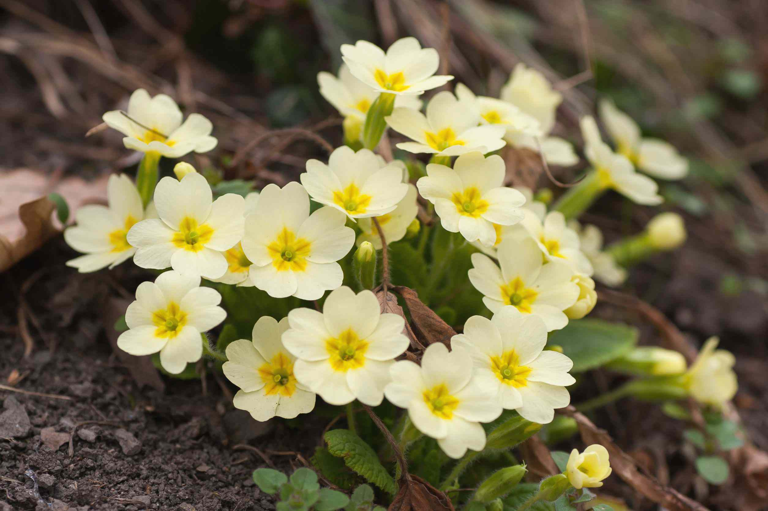 Primrose plant with cream-colored and yellow flowers on ground closeup