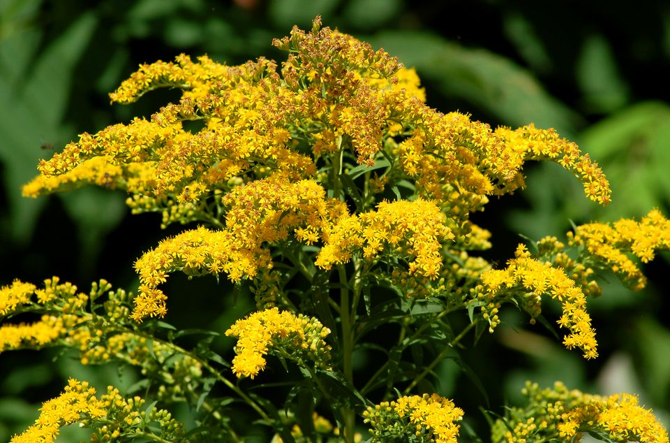 Goldenrod Weeds Or Wildflowers