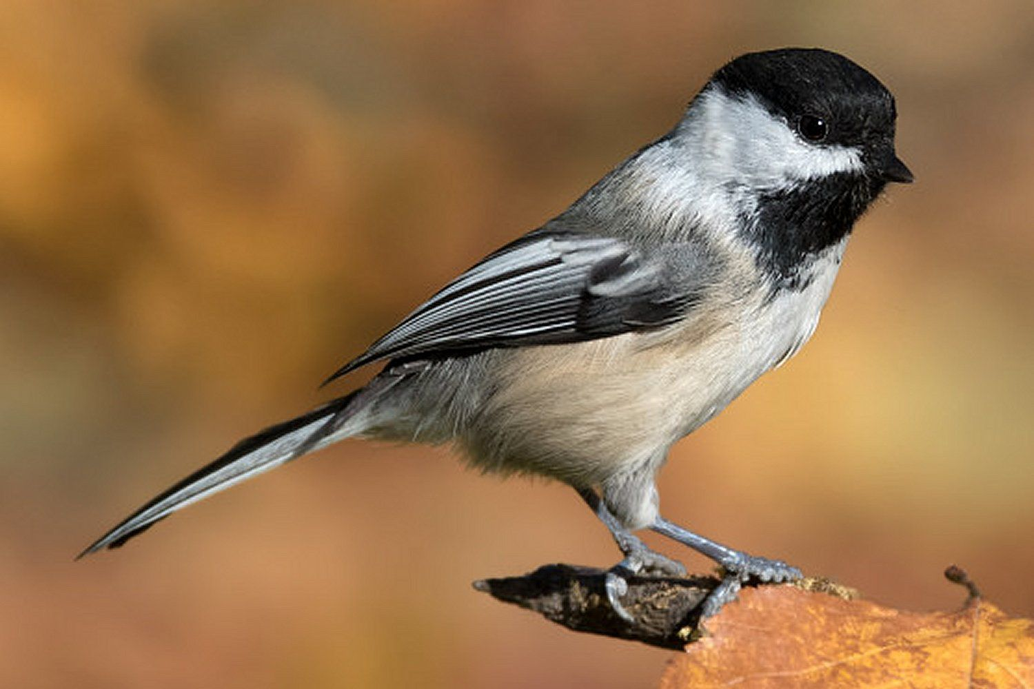 Black-Capped Chickadee, the state bird of Massachusetts, standing on a tree branch.