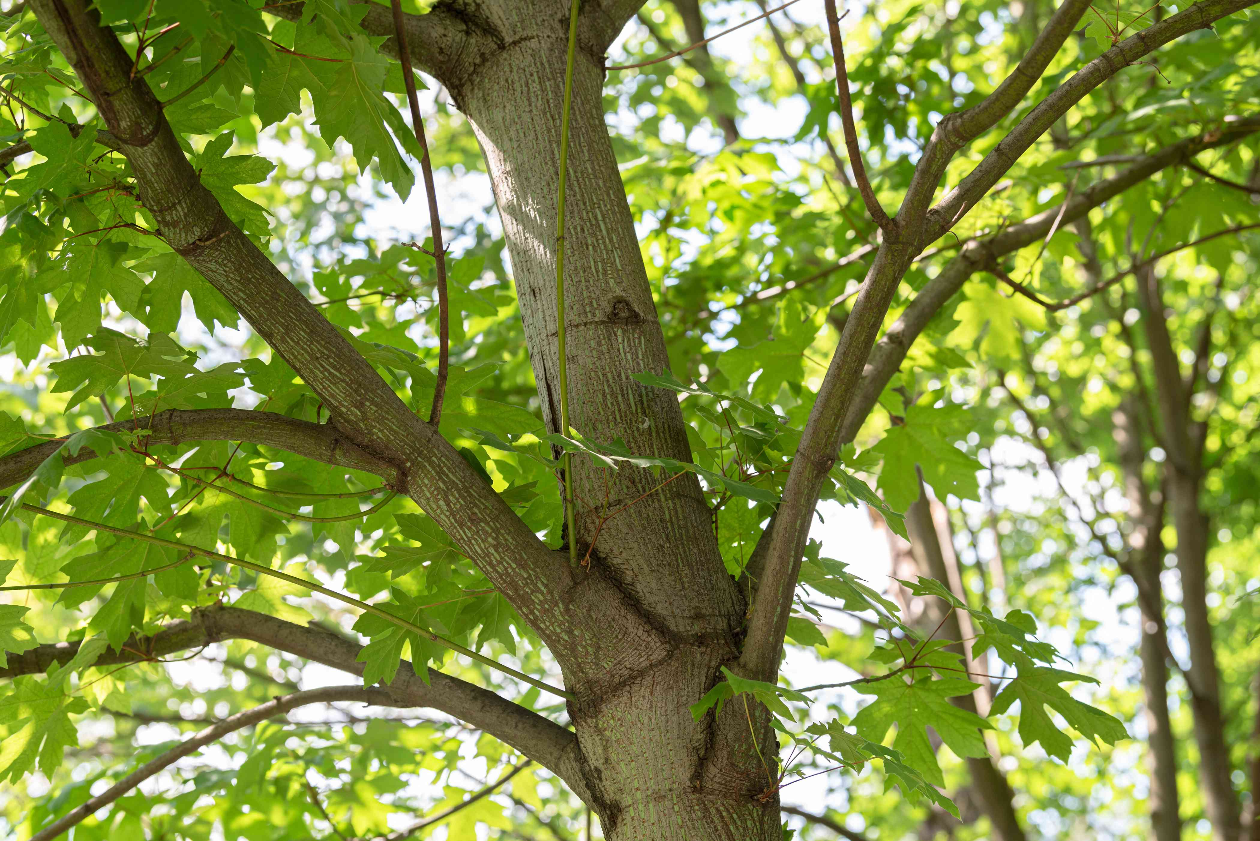 Big leaf maple tree trunk with light colored trunk and sprawling branches with large leaves