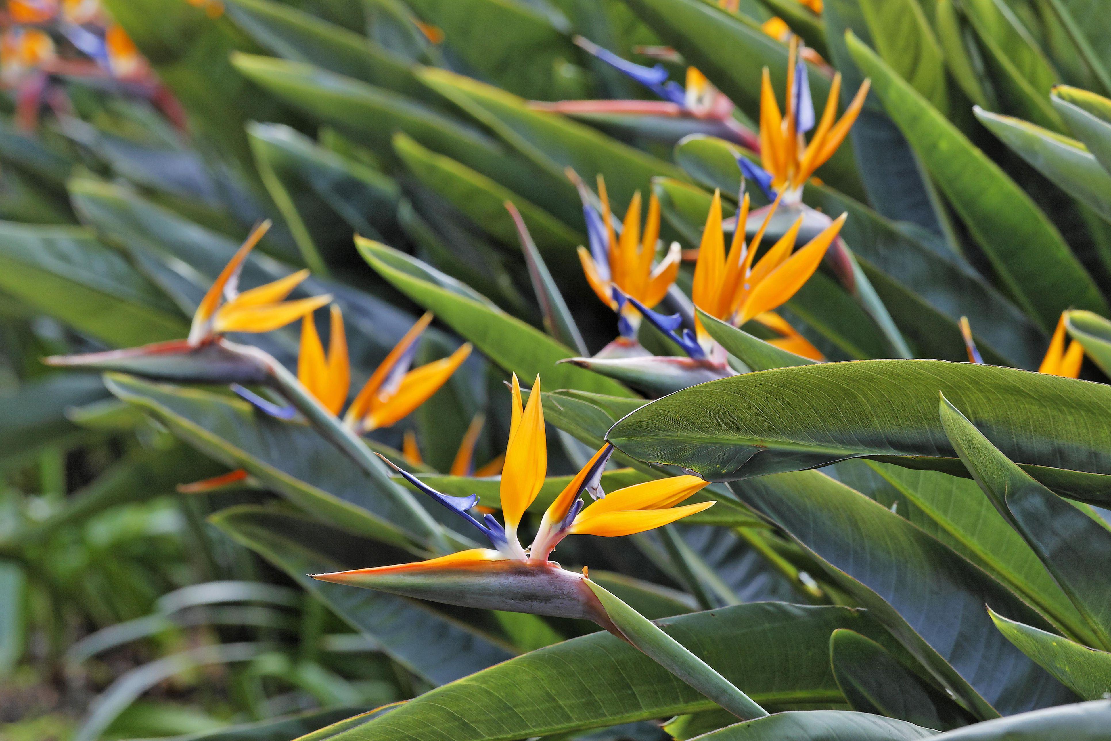 Picture of Live Bird of Paradise aka Strelitzia reginae Plant Fit 5 Gallon Pot
