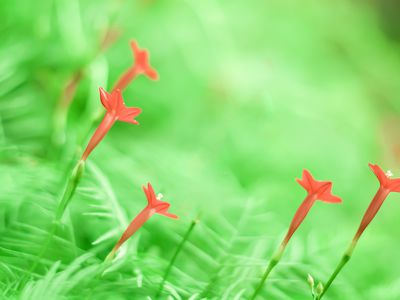 Cypress vine in bloom with red flowers