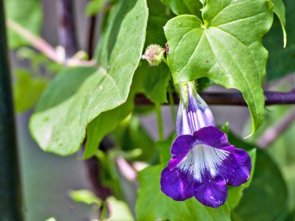 10 Best Annual Flowering Vines For Your Garden