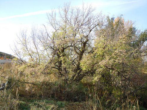 Imagen del árbol de saúco