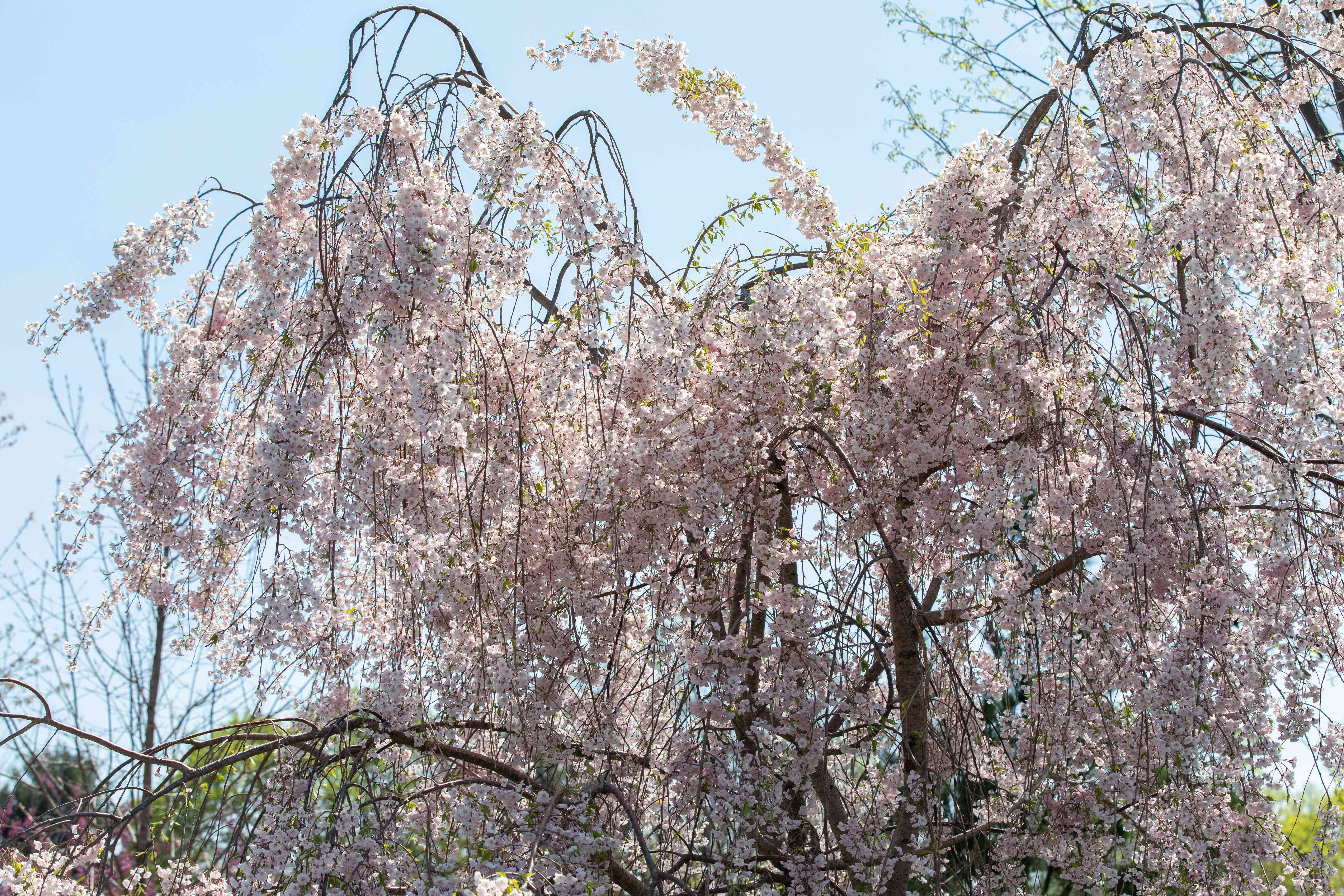 Weeping cherry tree with drooping branches and light pink flowers against blue skies