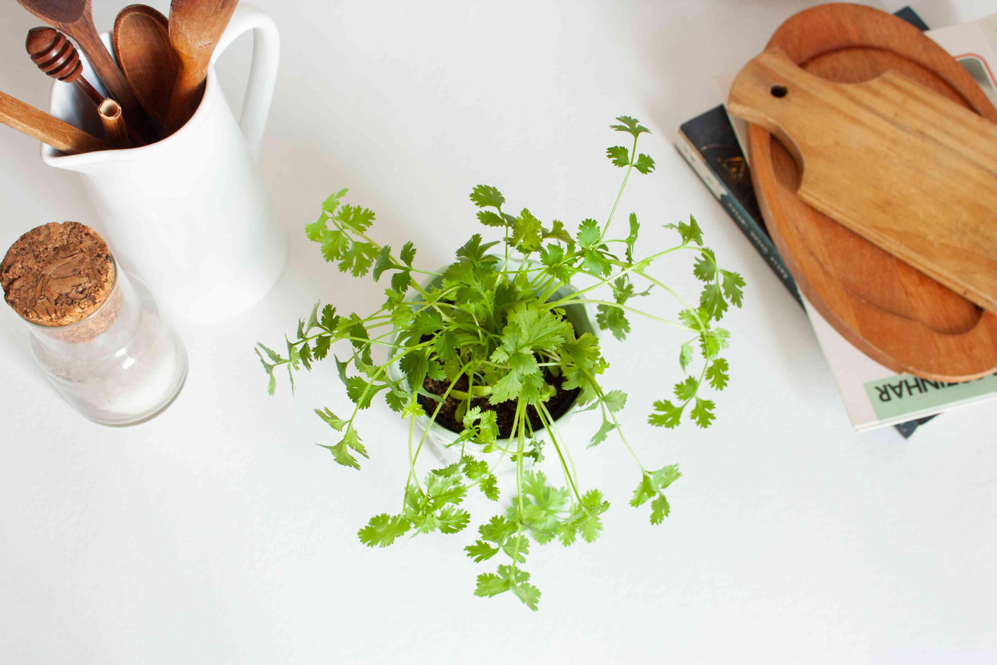 overhead shot of cilantro