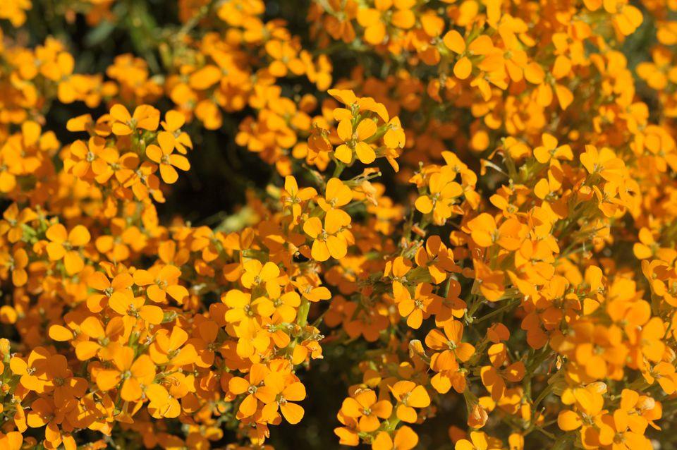Altgold wallflower plant with orange flowers in sunlight